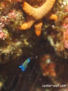 アマミスズメダイ幼魚